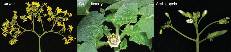 photos of a flowering tomato stem, flowering groundcherry stem, and flowering arabidopsis stem