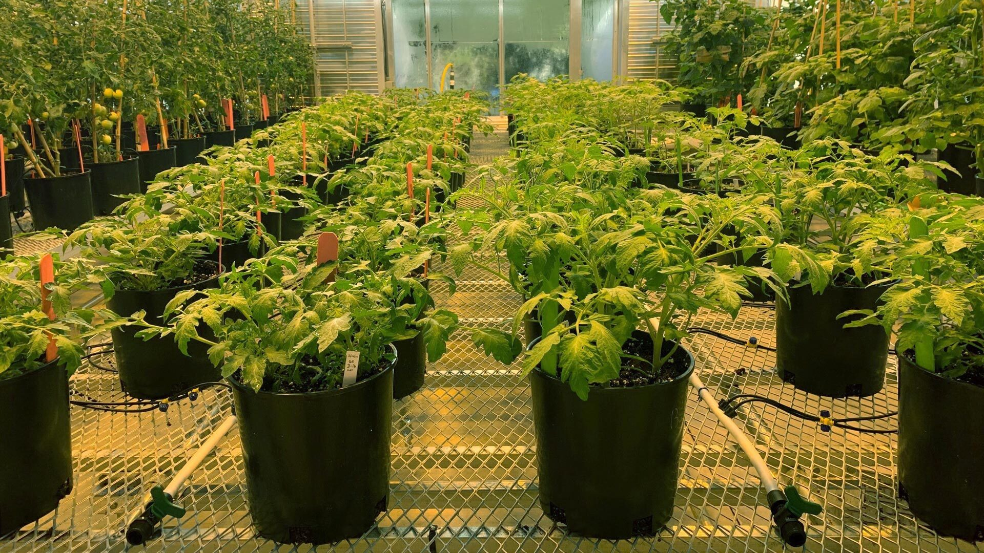 photo of the inside of the CSHL greenhouse with tomato plants