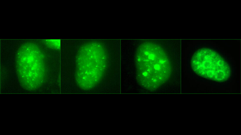How human cells coordinate the start of DNA replication
