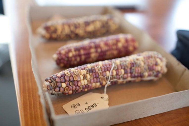photo of Barbara McClintocks transposon corn