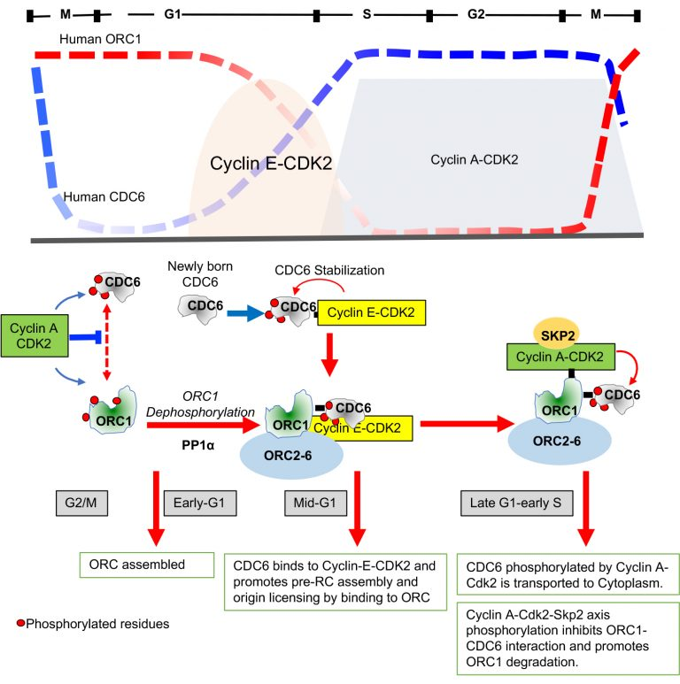illustration of gene replication feedback loops
