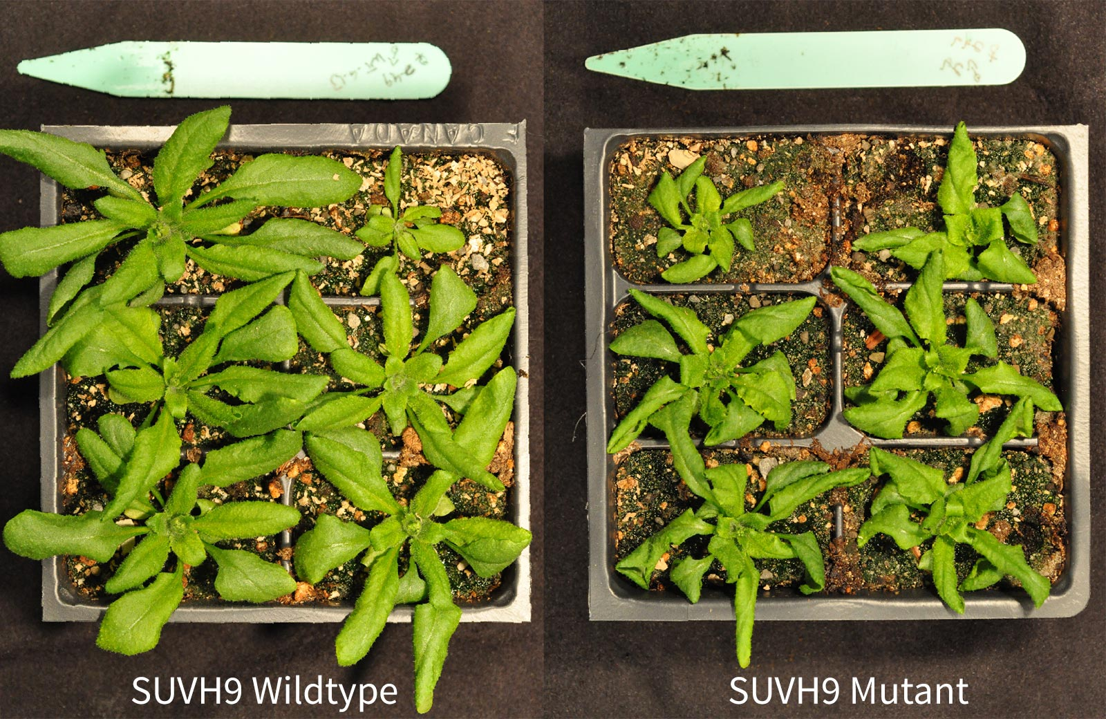 photo of two Arabidopsis thaliana plants