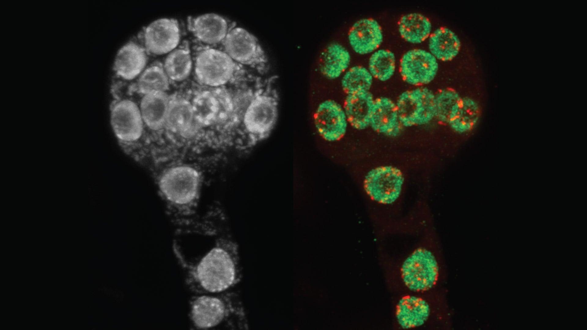 photo of Arabidopsis thaliana plant embryos
