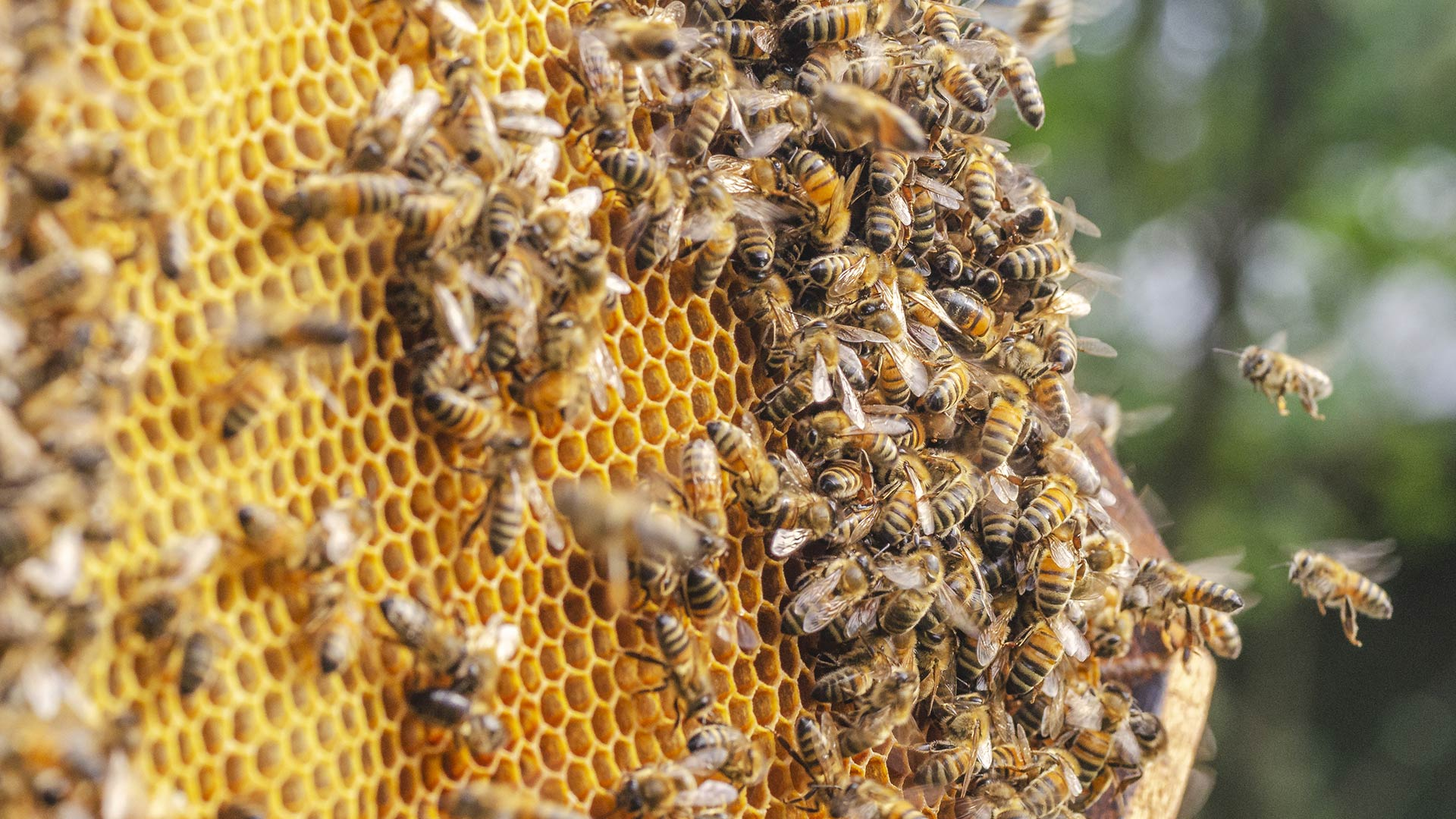 photo of a bee colony on honeycomb